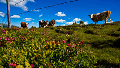 Kühe am Feld