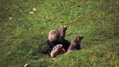 Drei Murmeltiere
