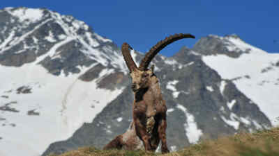 Capricorn in front of the Grossglockner