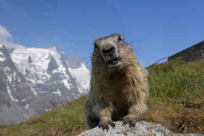 Marmot Close-up