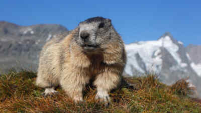 Marmot in front of the Grossglockner