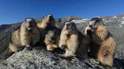Marmots during eating