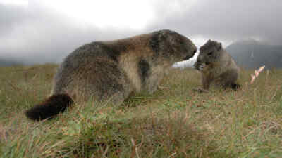 Two Marmots on a meadow