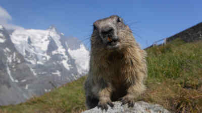 the alpine marmot