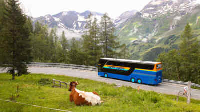 Glocknerbus with cow