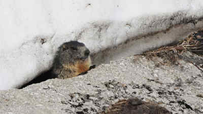 Murmeltier unter der Schneedecke