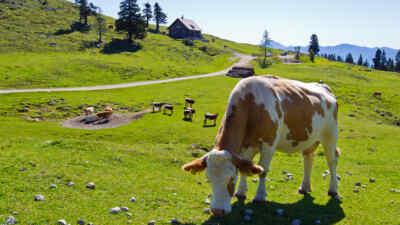 Cow nearby Villacher alpine road