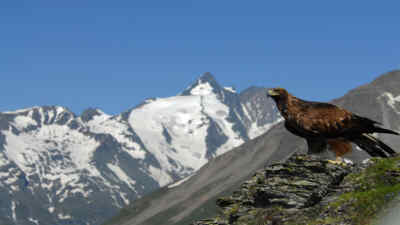A golden eagle on a rock in front of the grossglockner