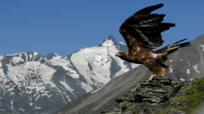 A golden eagle at take-off