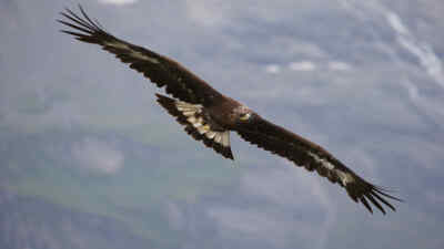 A golden eagle in mid-air