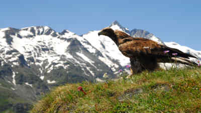 A golden eagle on a meadow in front of the grossglockner