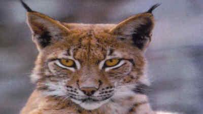 A lynx in wild park Ferleiten
