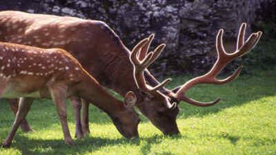 Deer in wild park Ferleiten