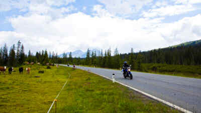 Motorradfahrer mit Kühe