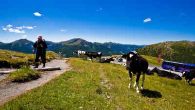 wanderer neben kühen